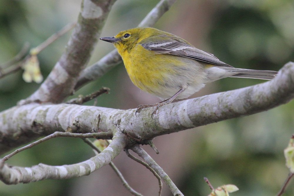 Pine Warbler / 14 Mar / Courthouse Woods