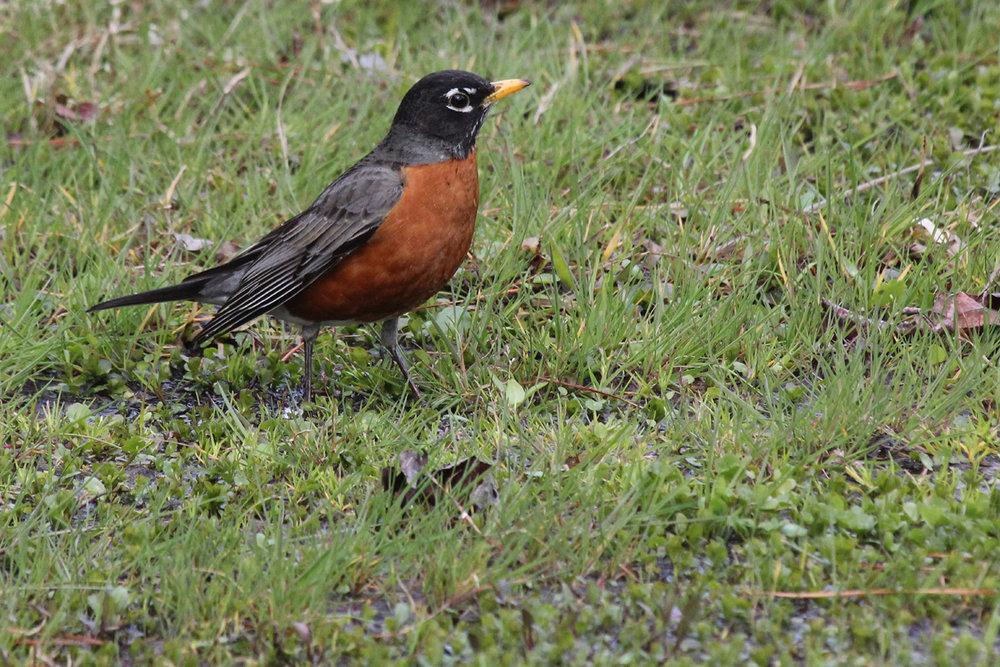 American Robin / 14 Mar / Stumpy Lake NA