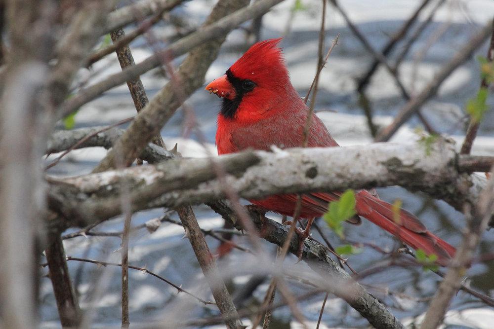 Northern Cardinal / 14 Mar / Stumpy Lake NA
