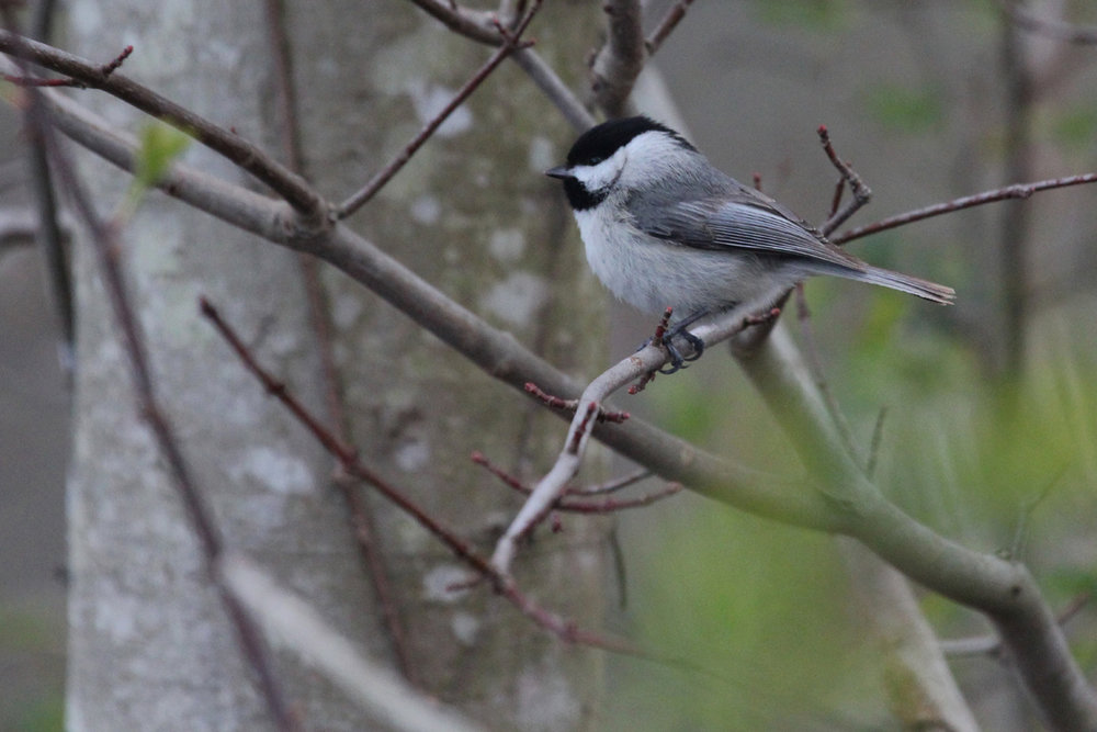 Carolina Chickadee / 14 Mar / Stumpy Lake NA
