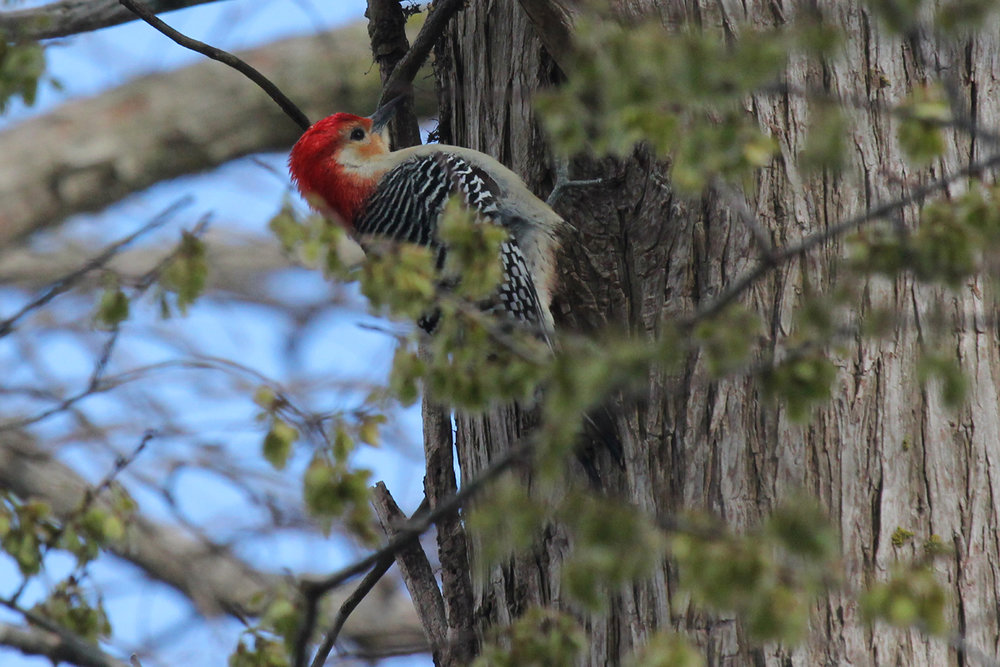Red-bellied Woodpecker / 14 Mar / Stumpy Lake NA