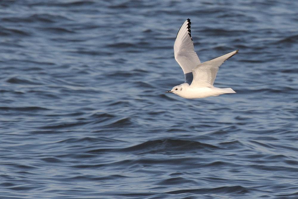 Bonapartes' Gull / 15 Mar / North End Beaches