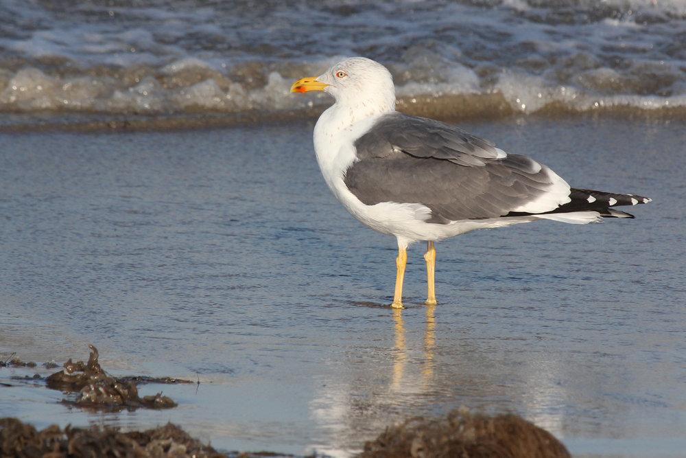 Lesser Black-backed Gull / 15 Mar / North End Beaches