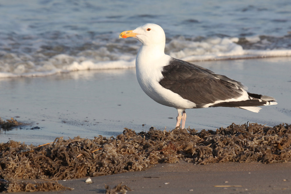 Great Black-backed Gull / 15 Mar / North End Beaches