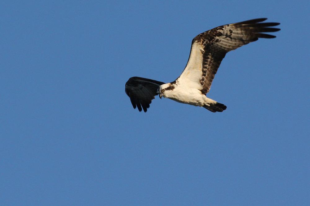 Osprey / 15 Mar / North End Beaches