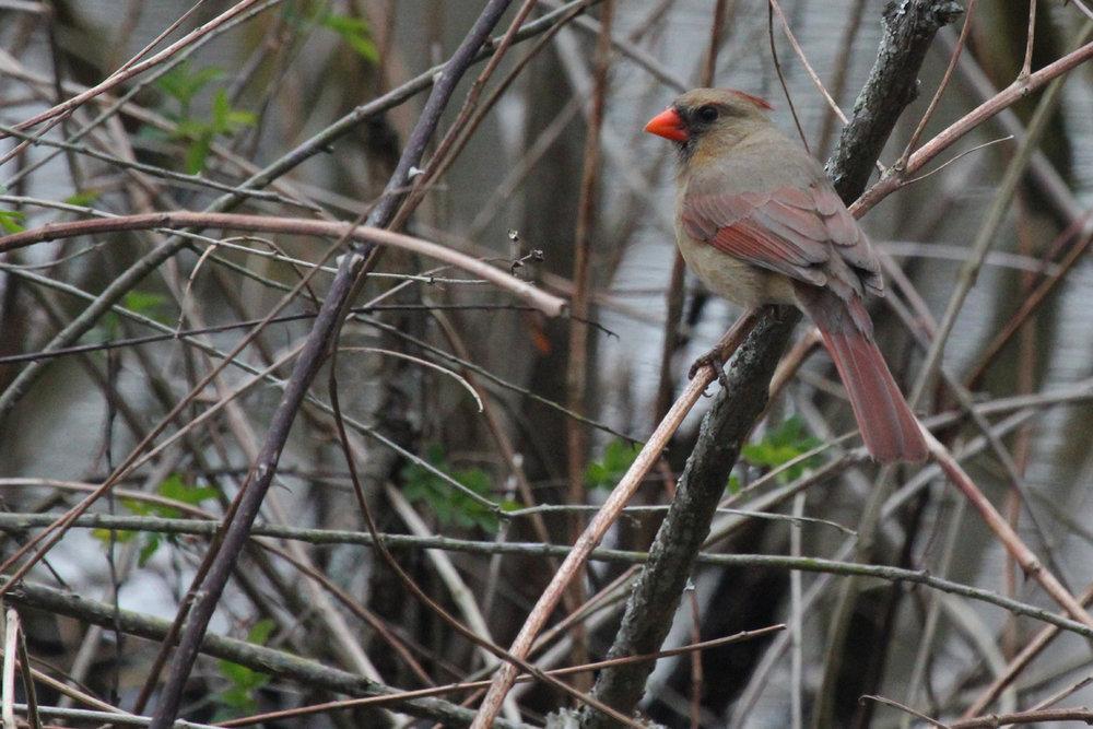 Northern Cardinal / 19 Mar / Stumpy Lake NA