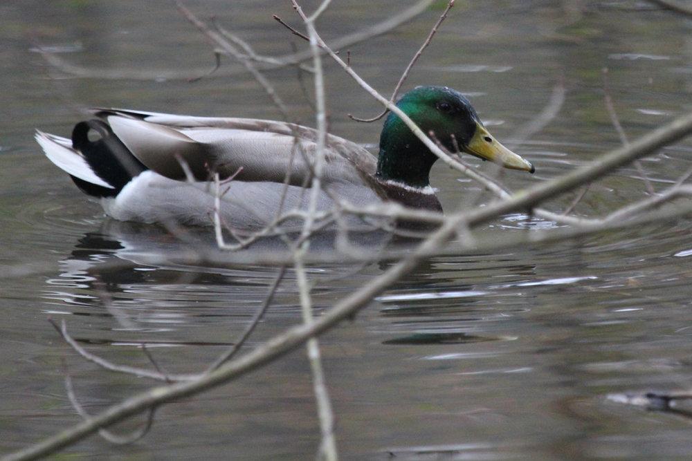 Mallard / 19 Mar / Stumpy Lake NA