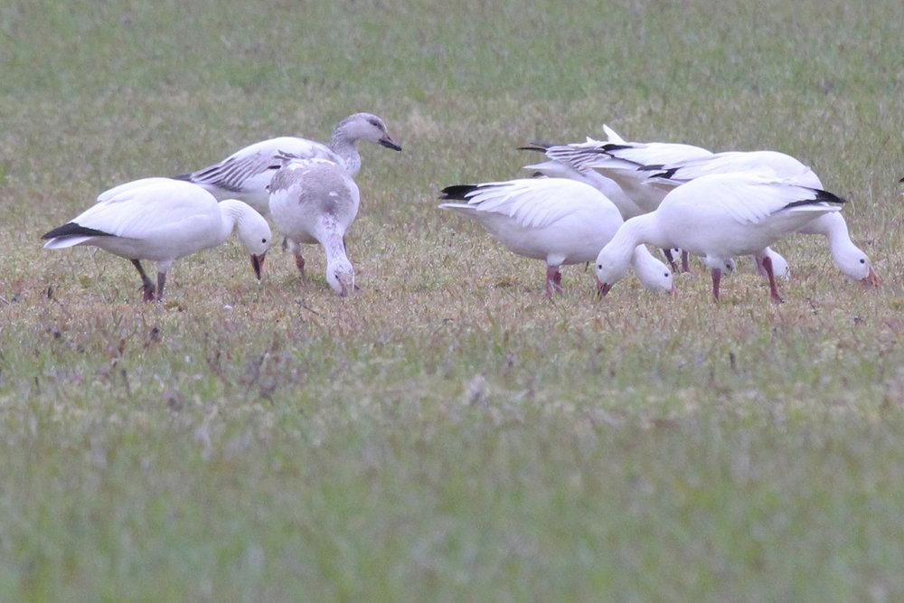 Snow Geese / 20 Mar / Muddy Creek Rd.