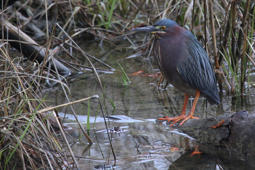 Green Heron / 27 Mar / Pleasure House Point NA