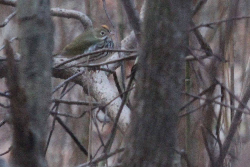 Ovenbird / 29 Mar / West Neck Creek NA