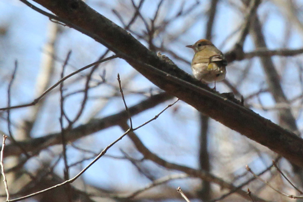 Ovenbird / 31 Mar / Stumpy Lake NA