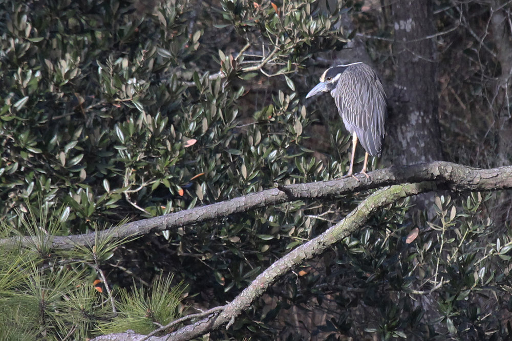 Yellow-crowned Night-Heron / 22 Mar / Pleasure House Point NA