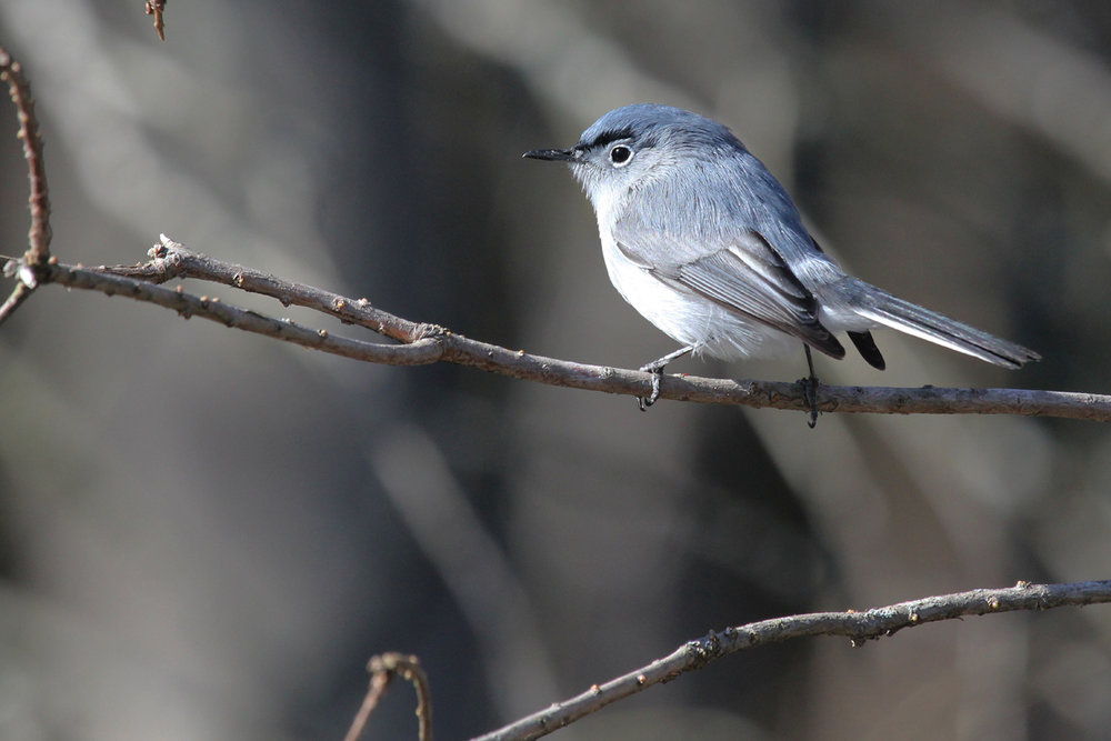 Blue-gray Gnatcatcher / 23 Mar / Stumpy Lake NA