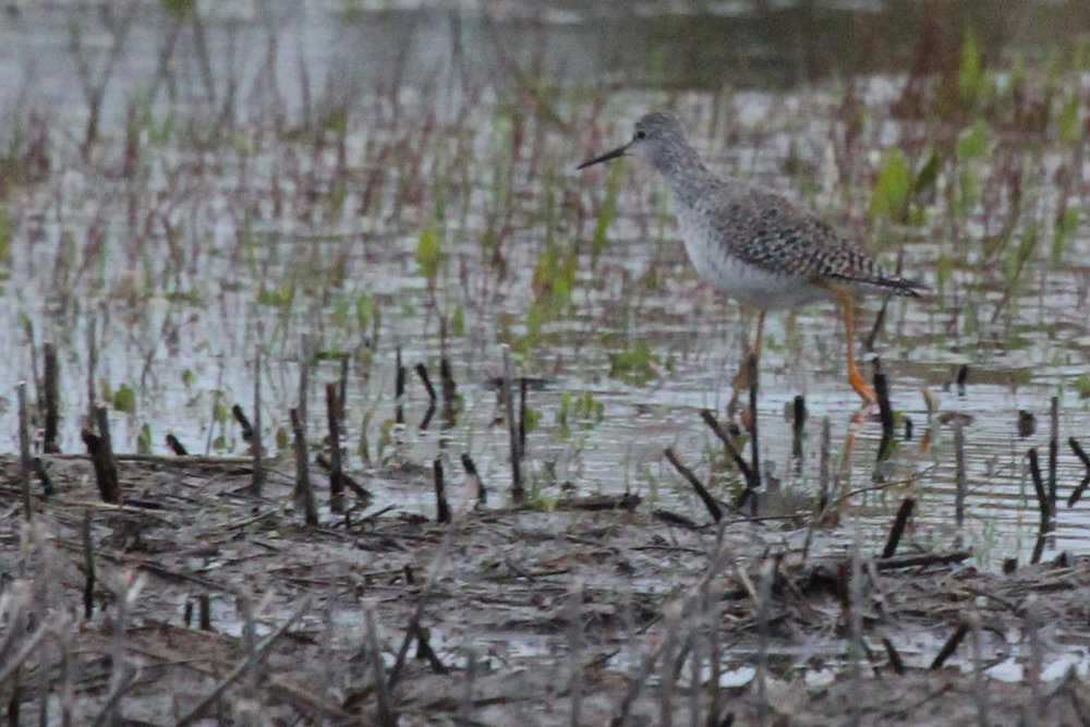 Lesser Yellowlegs / 25 Mar / Princess Anne WMA Whitehurst Tract