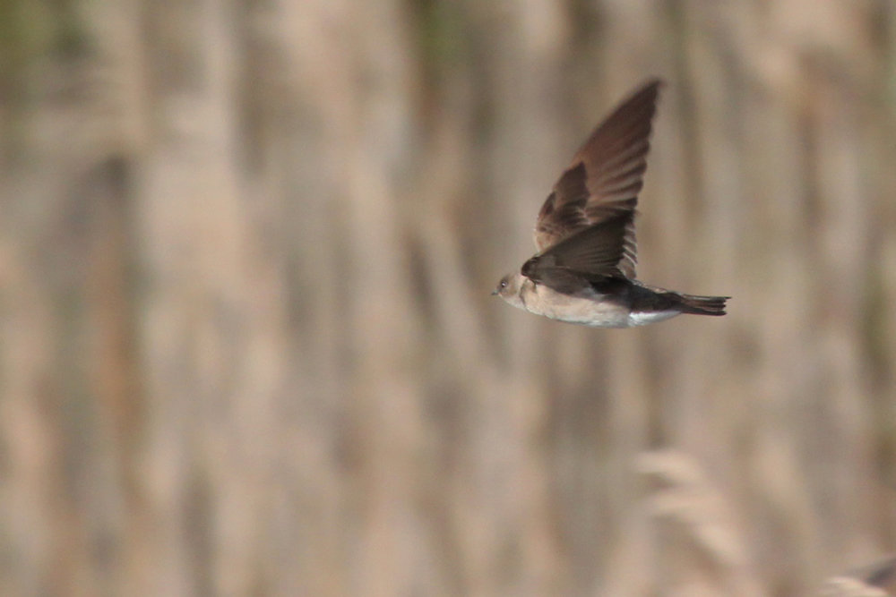 Northern Rough-winged Swallow / 25 Mar / Princess Anne WMA Whitehurst Tract