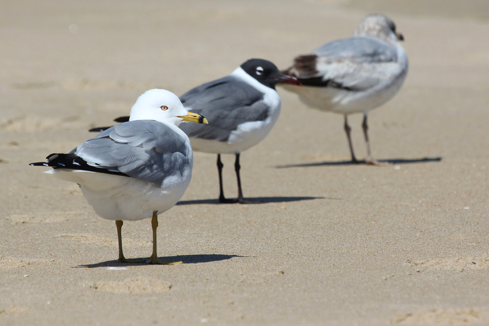 Ring-billed Gulls & Laughing Gull / 25 Mar / Little Island Park