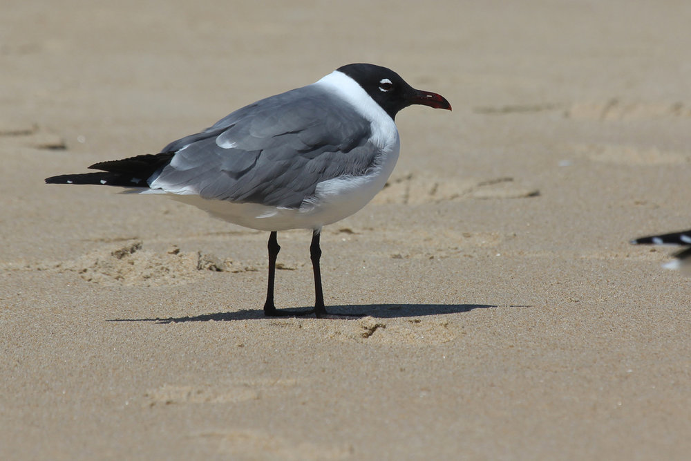 Laughing Gull / 25 Mar / Little Island Park