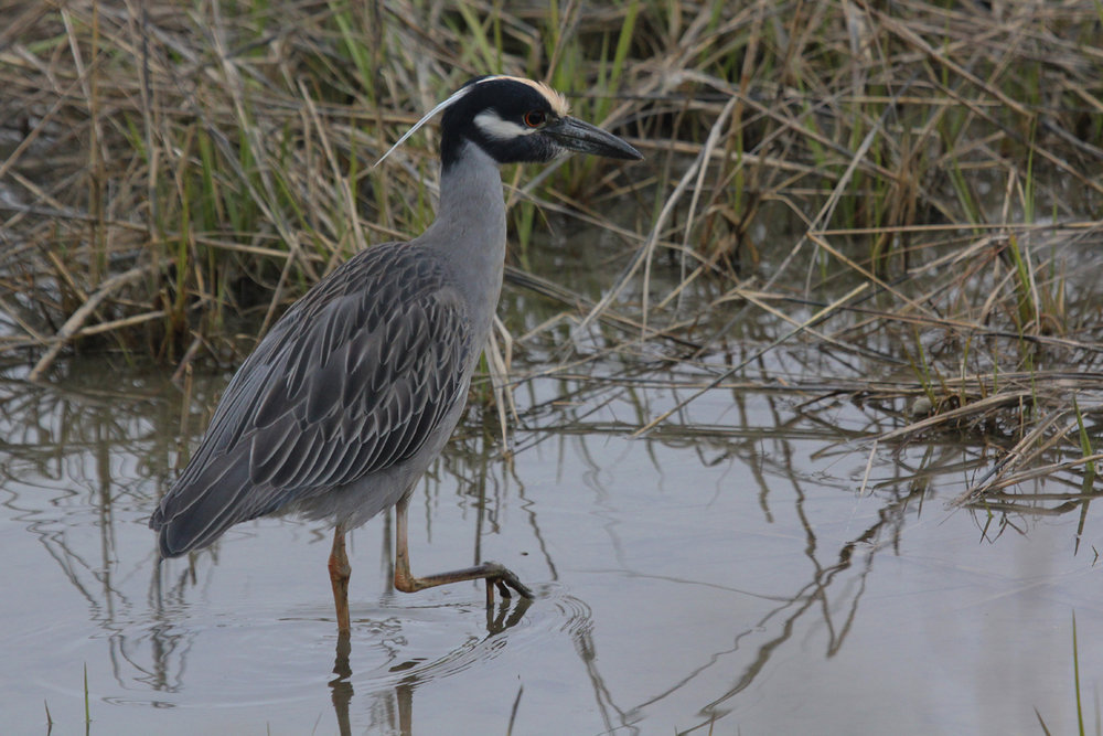 Yellow-crowned Night-Heron / 27 Mar / Pleasure House Point NA