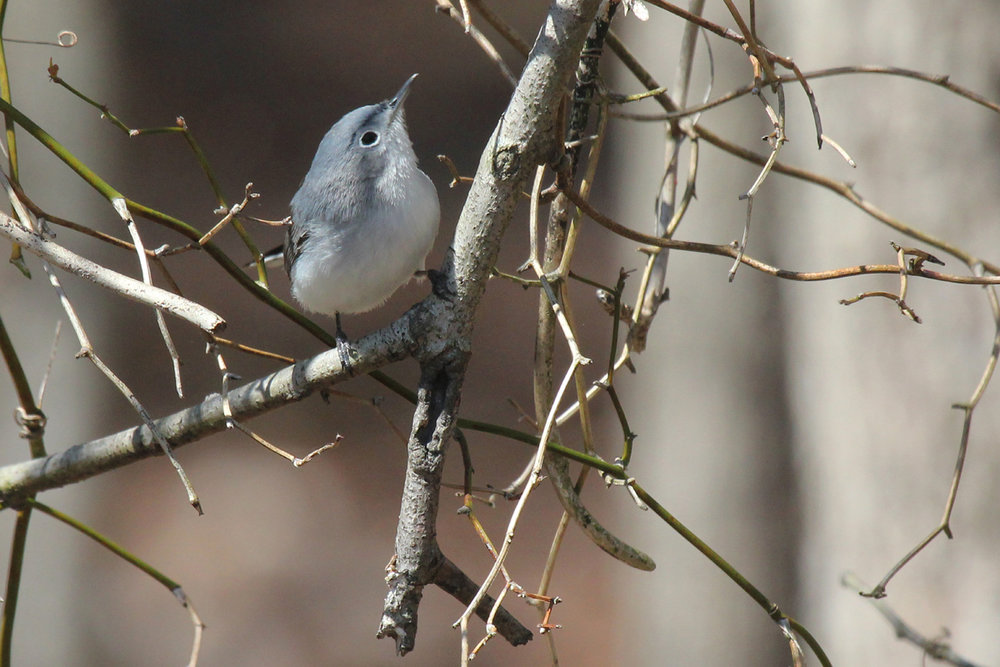 Blue-gray Gnatcatcher / 31 Mar / Stumpy Lake NA
