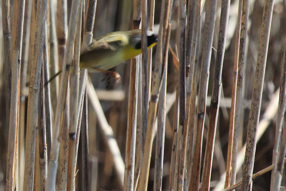 Common Yellowthroat / 31 Mar / Back Bay NWR