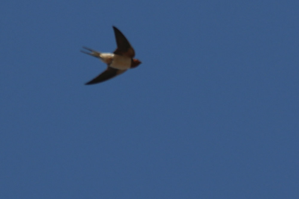 Barn Swallow / 31 Mar / Sandbridge