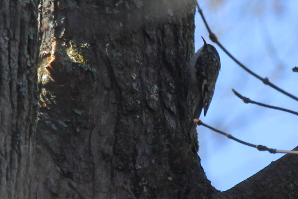Brown Creeper / 23 Mar / Stumpy Lake NA