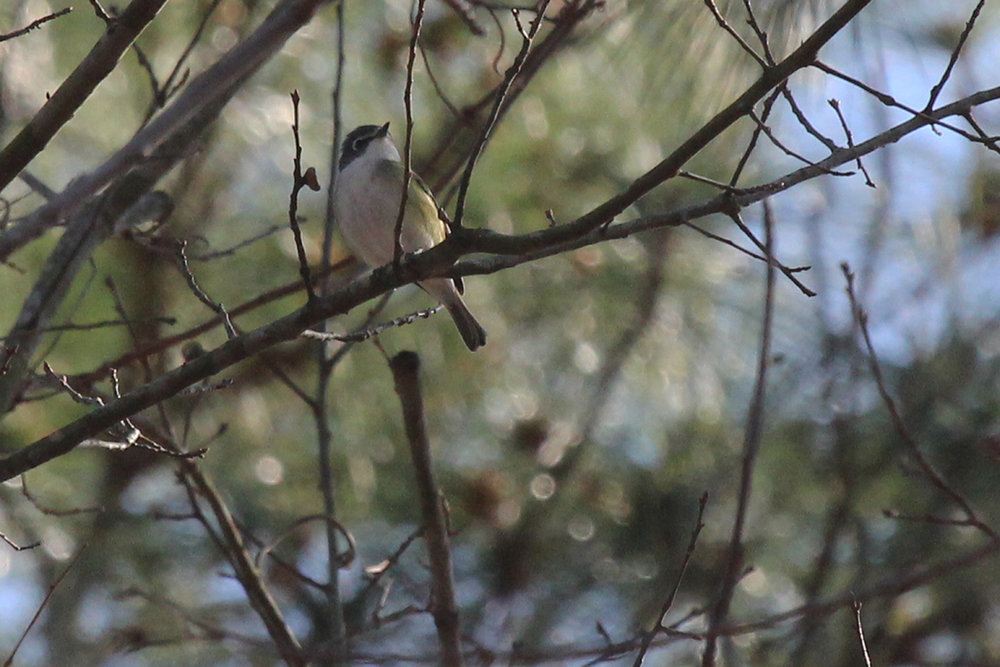 Blue-headed Vireo / 23 Mar / Stumpy Lake NA