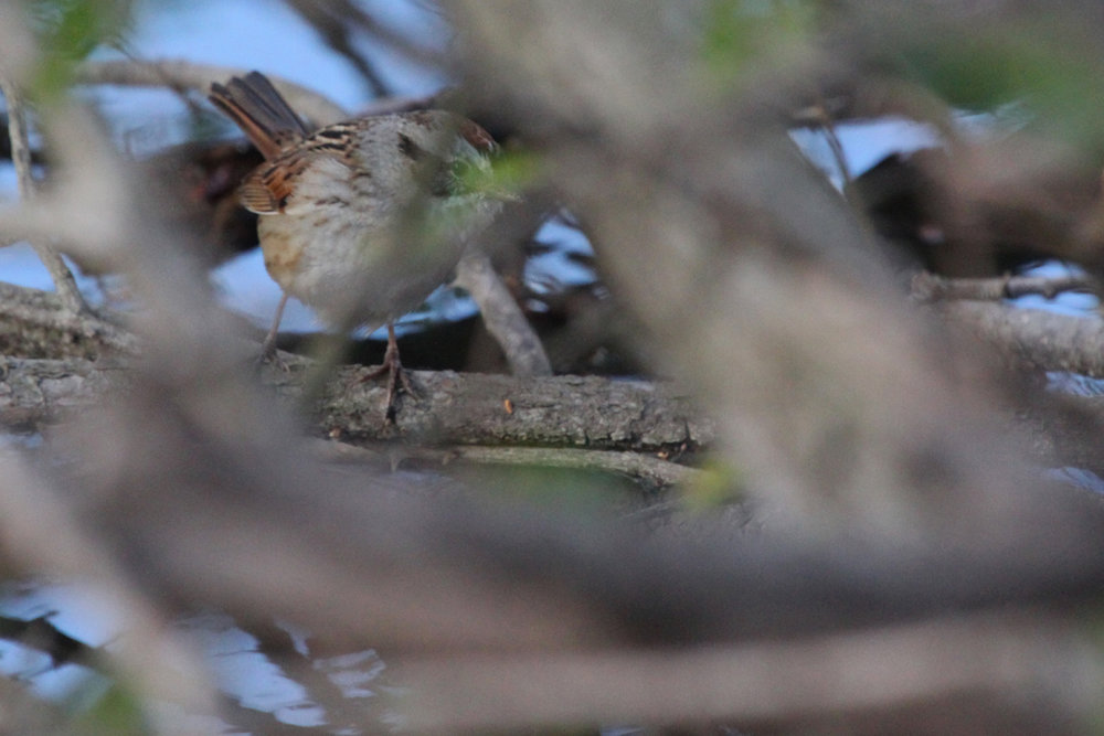 Swamp Sparrow / 23 Mar / Stumpy Lake NA