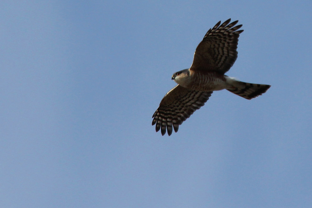 Sharp-shinned Hawk / 25 Mar / Princess Anne WMA Beasley Tract
