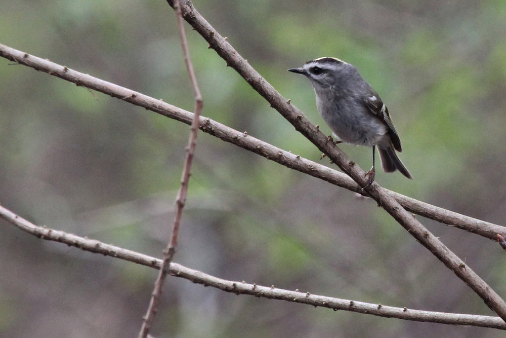 Golden-crowned Kinglet / 29 Mar / Stumpy Lake NA