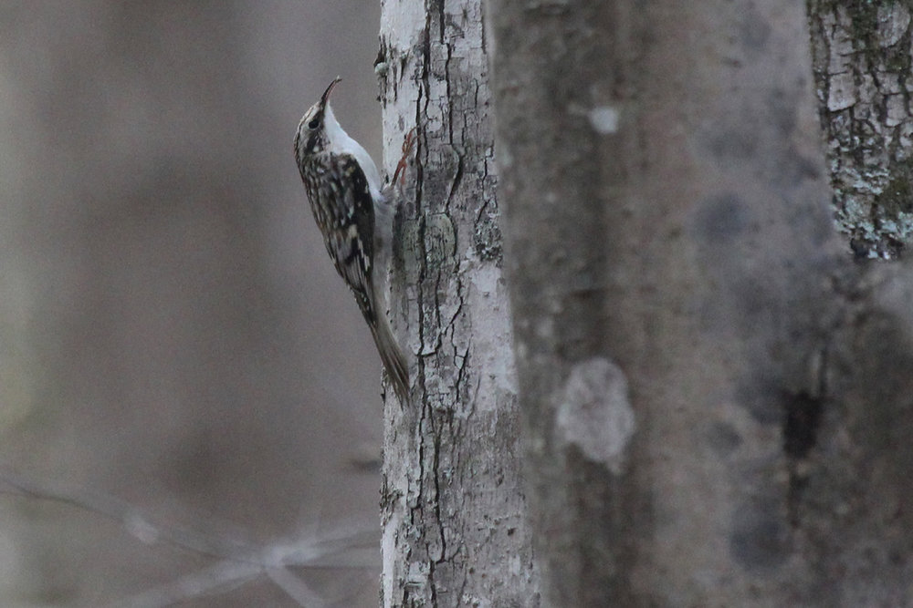 Brown Creeper / 29 Mar / Stumpy Lake NA