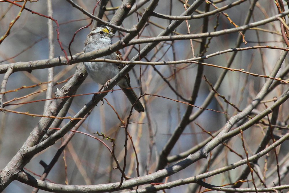 White-throated Sparrow / 31 Mar / Stumpy Lake NA