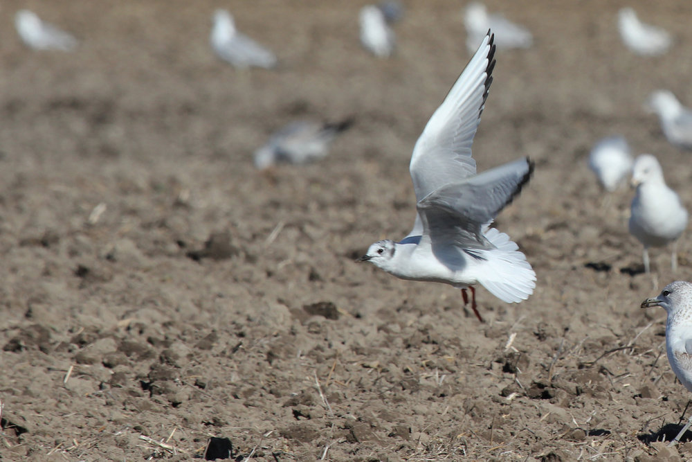 Bonaparte's Gull / 31 Mar / Morris Neck Rd.