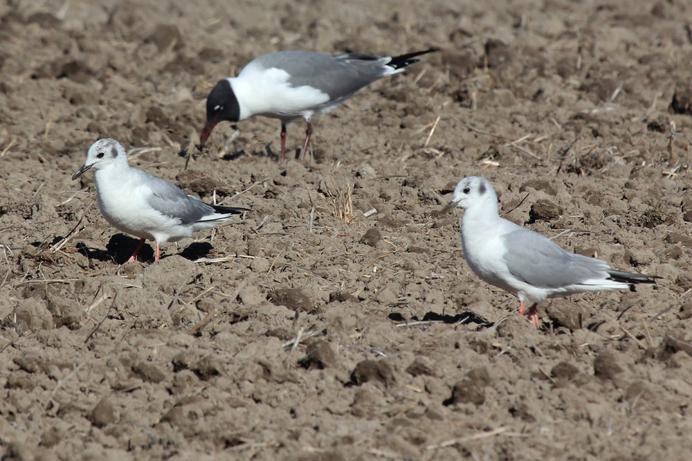 Laughing & Bonaparte's Gulls / 31 Mar / Morris Neck Rd.