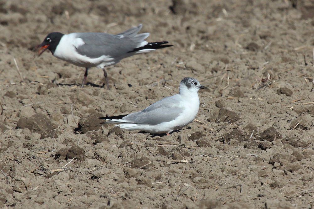 Laughing & Bonaparte's Gull / 31 Mar / Morris Neck Rd.