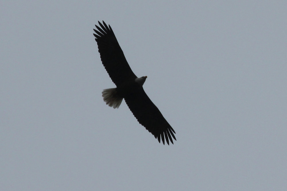 Bald Eagle / 21 Mar / Courthouse Woods