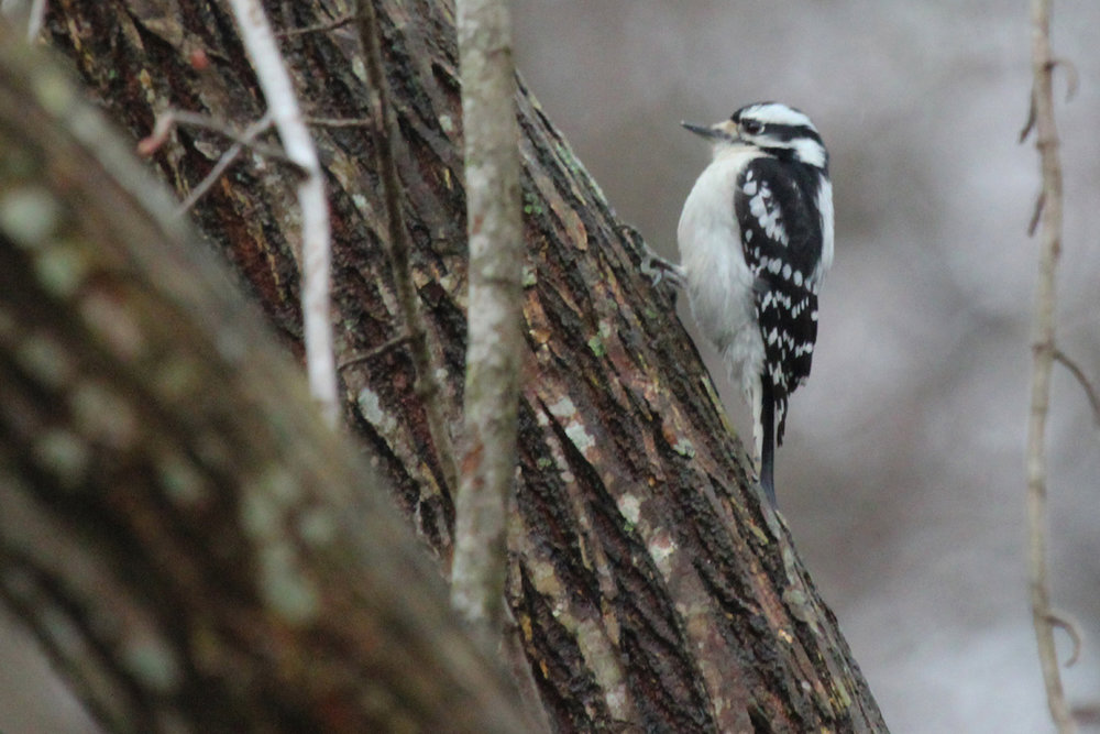 Downy Woodpecker / 21 Mar / Courthouse Woods