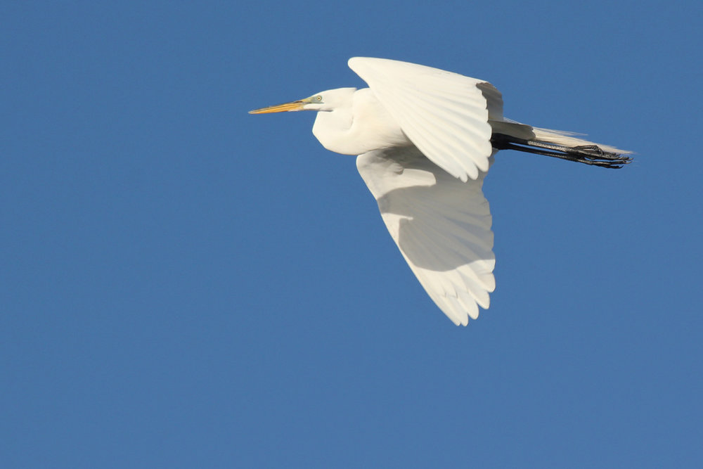 Great Egret / 22 Mar / Pleasure House Point NA