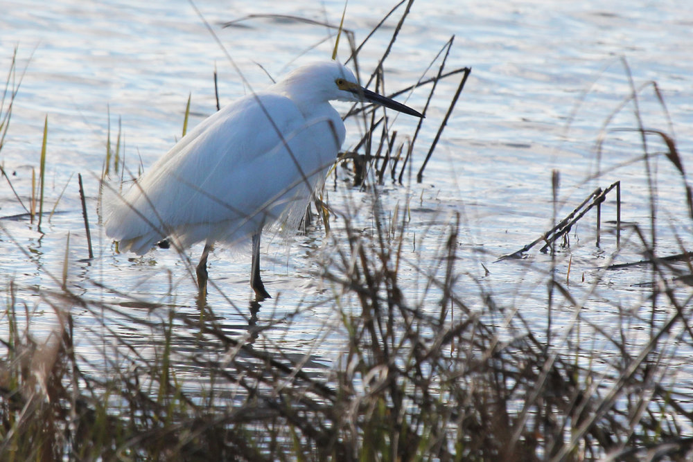 Snowy Egret / 22 Mar / Pleasure House Point NA