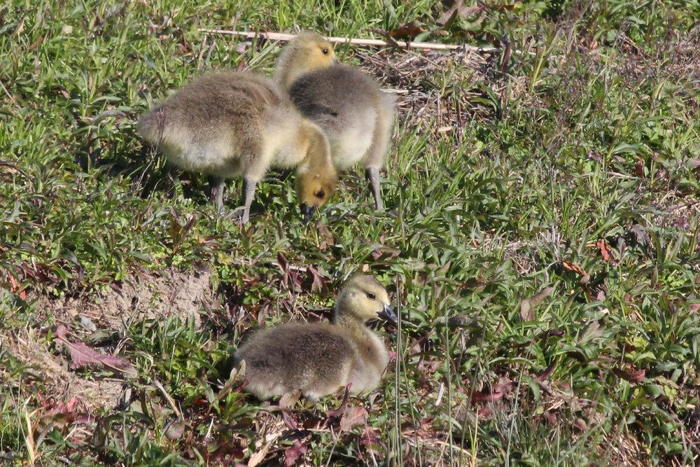 Canada Geese / 25 Mar / Kellam HS