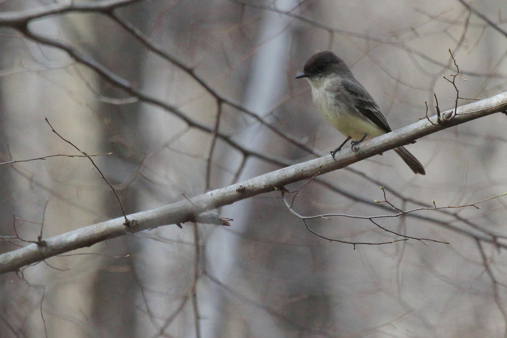 Eastern Phoebe / 29 Mar / Stumpy Lake NA