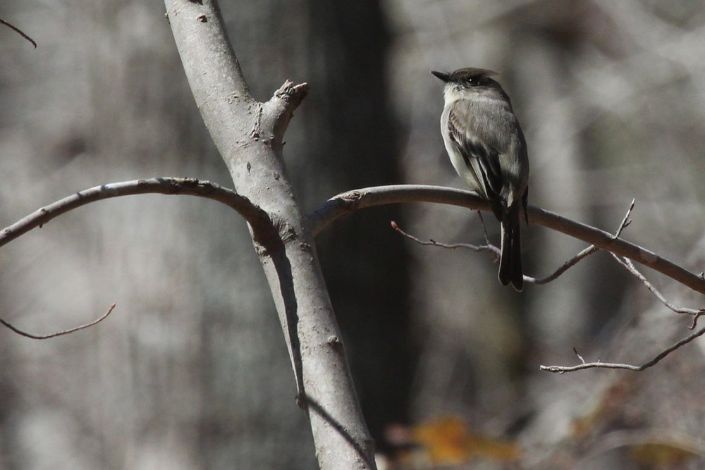 Eastern Phoebe / 31 Mar / Stumpy Lake NA