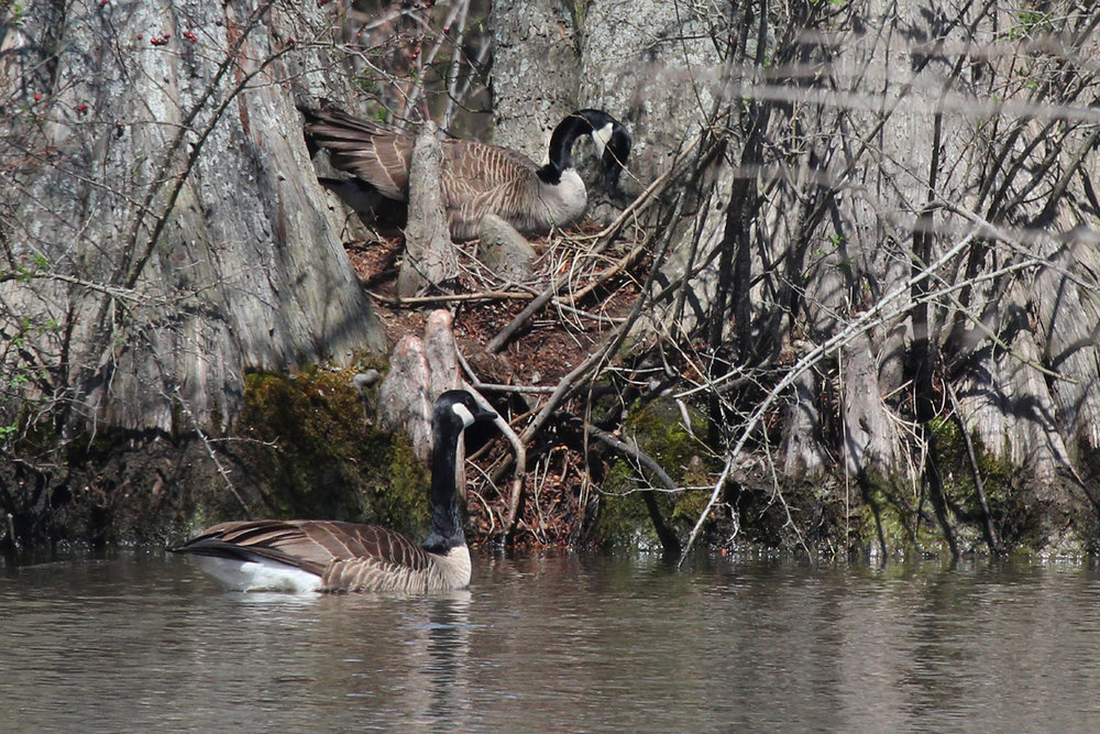 Canada Geese / 31 Mar / Stumpy Lake NA