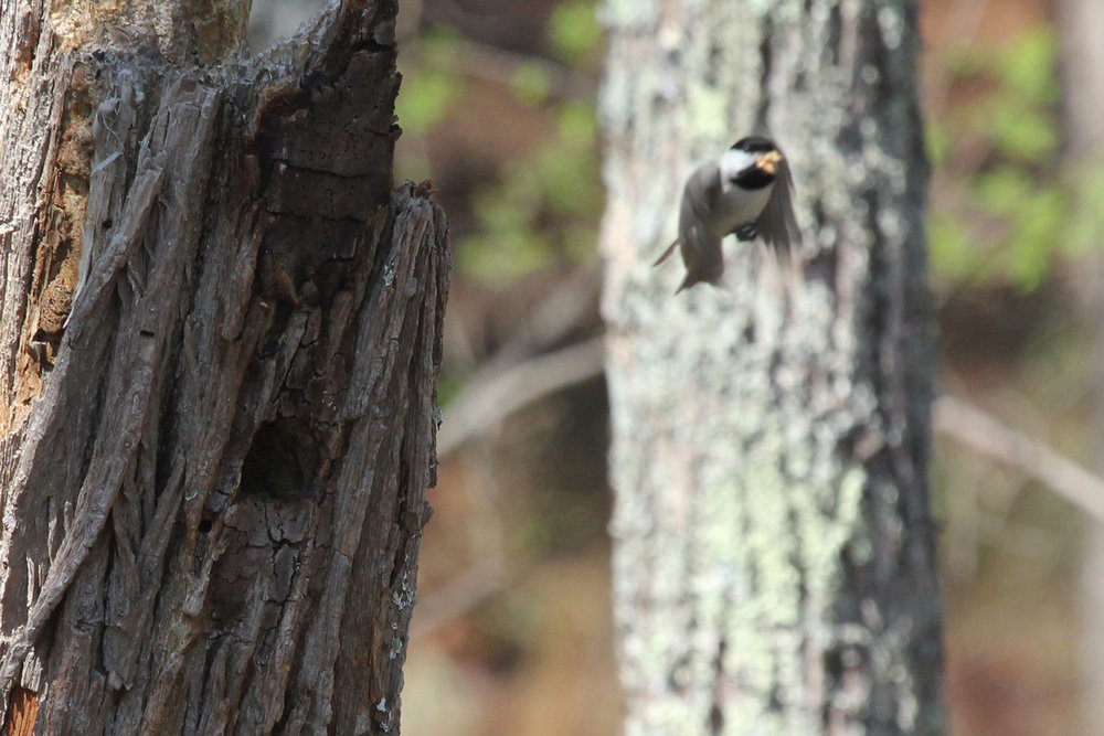 Carolina Chickadee / 31 Mar / Stumpy Lake NA