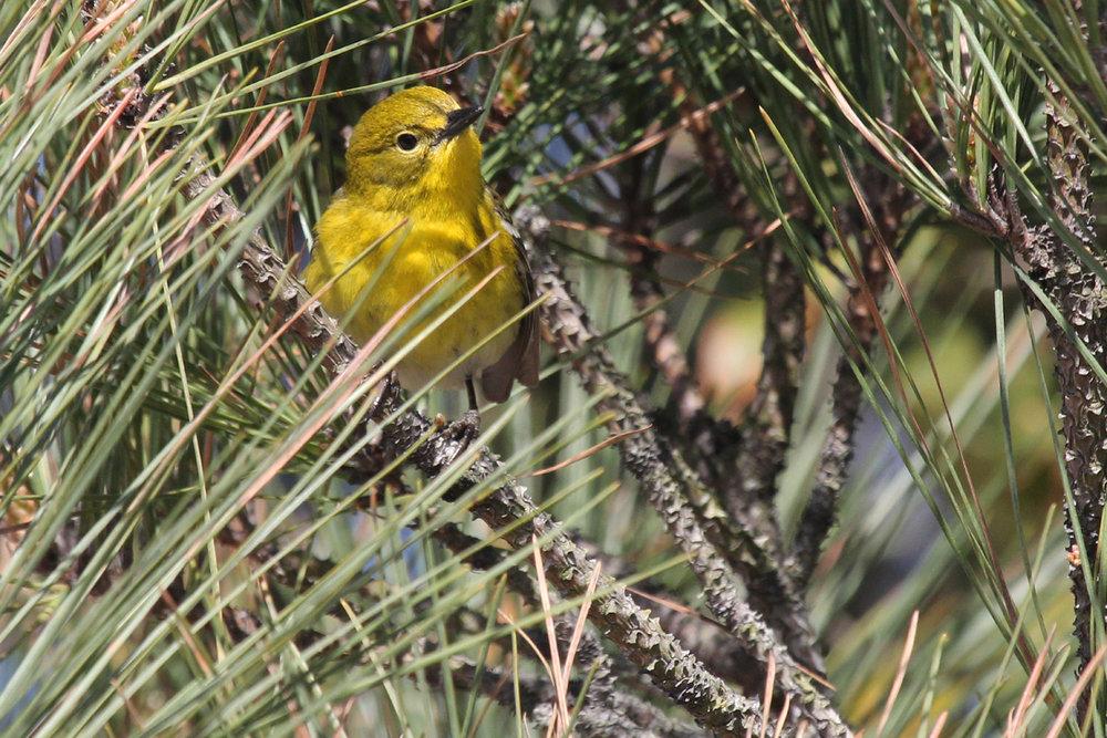 Pine Warbler / 31 Mar / Back Bay NWR