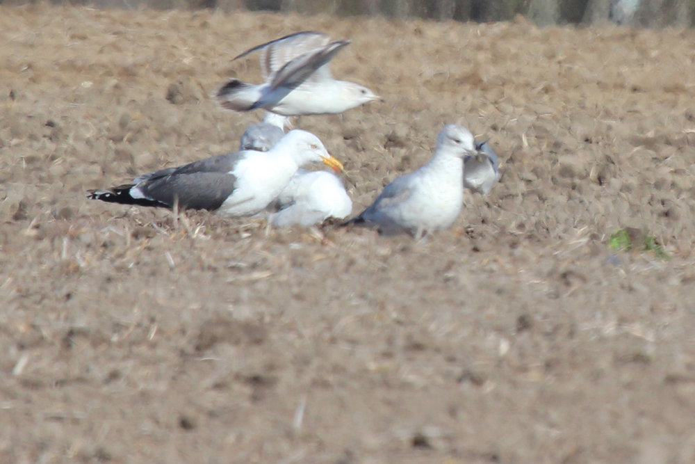 Lesser Black-backed & Ring-billed Gulls / 31 Mar / Morris Neck Rd.