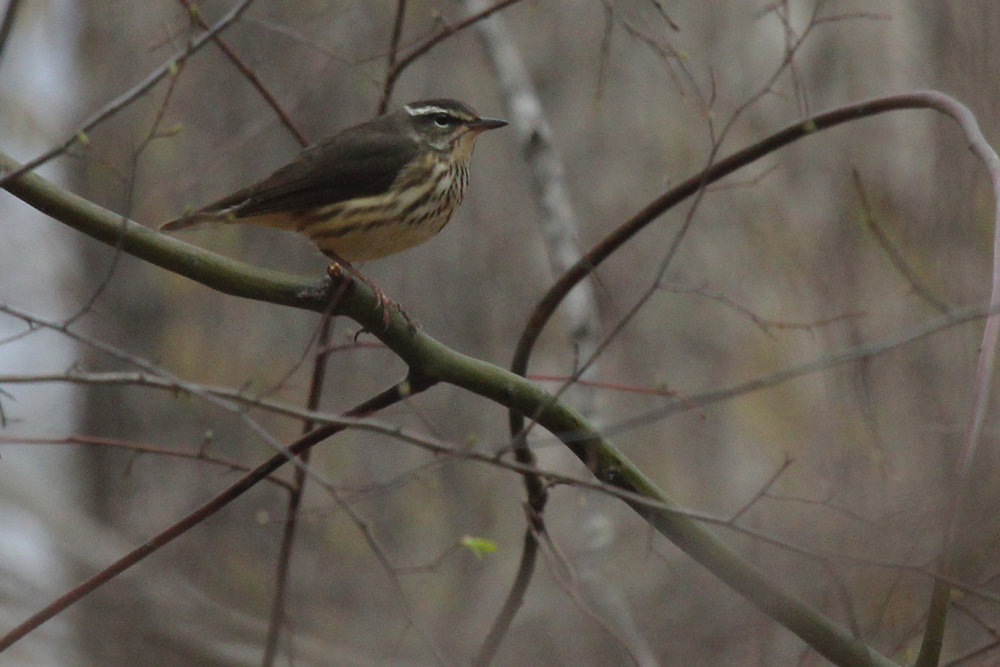 Louisiana Waterthrush / 1 Apr / Stumpy Lake NA