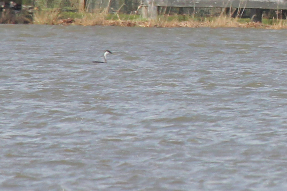 Western Grebe / 6 Apr / Horn Point Road Boat Ramp
