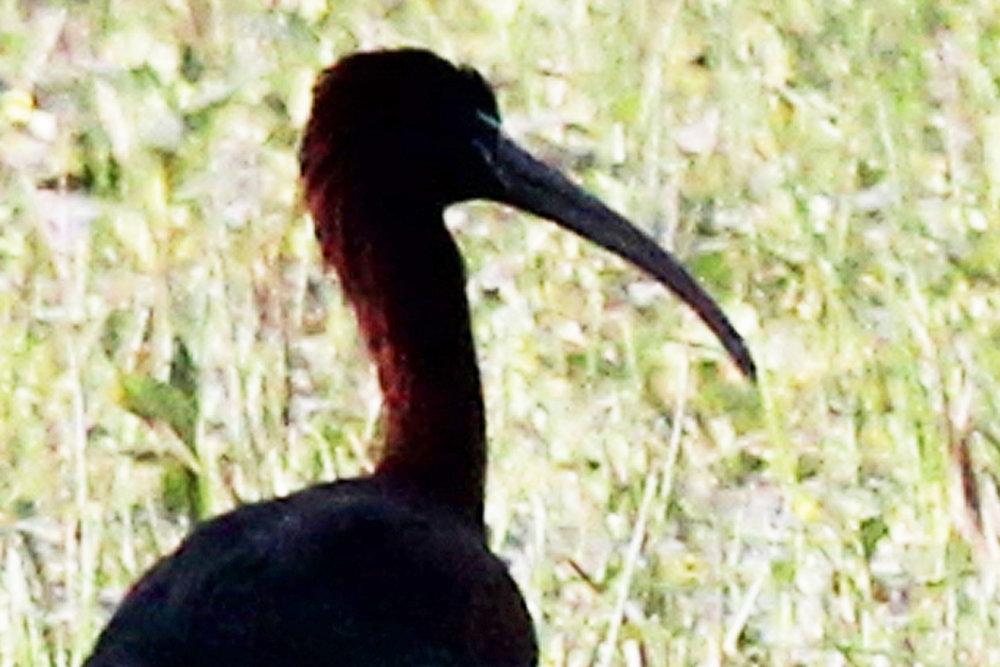 Glossy Ibis / 1 Apr / Princess Anne WMA Beasley Tract
