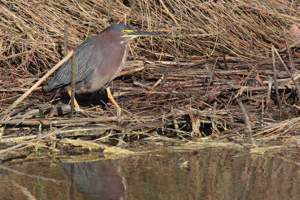 Green Heron / 5 Apr / Pleasure House Point NA
